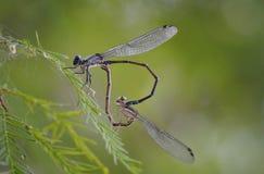 Tarjeta del día de San Valentín de la libélula Imágenes de archivo libres de regalías