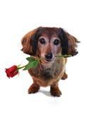 Tarjeta del día de San Valentín del Dachshund Foto de archivo libre de regalías