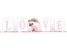 Tarjeta del día de San Valentín del erizo Fotografía de archivo