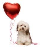 Tarjeta del día de San Valentín Havanese del amante Fotos de archivo libres de regalías