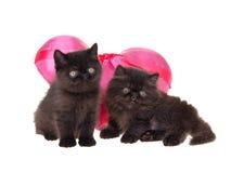 Tarjeta del día de San Valentín persa negra de los gatitos aislada Foto de archivo