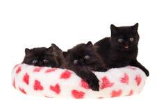 Tarjeta del día de San Valentín persa negra de los gatitos aislada Fotos de archivo