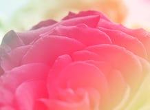 Tarjeta del día de San Valentín rosada roja del amor del fondo del color de Rose Imagenes de archivo