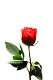 Tarjeta del día de San Valentín Rose Imagen de archivo libre de regalías