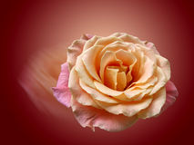 Tarjeta del día de San Valentín Rose roja En forma de corazón Imagenes de archivo