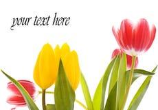Tarjeta del tulipán imagenes de archivo