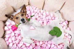 Tarjetas del día de San Valentín color de rosa del amor del perro imagen de archivo libre de regalías