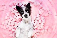 Tarjetas del día de San Valentín color de rosa del amor del perro fotos de archivo libres de regalías