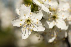 Tarnina - Prunus spinosa kwitnie zbliżenie Fotografia Royalty Free