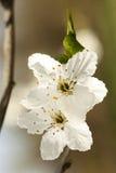 Tarnina - Prunus spinosa kwitnie zbliżenie Zdjęcie Royalty Free