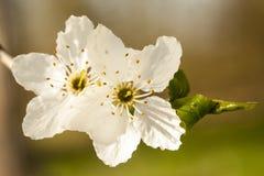 Tarnina - Prunus spinosa kwitnie zbliżenie Zdjęcia Stock
