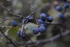 Tarninowe jagody Dojrzałe tarninowe jagody Jesieni błękita jagody fotografia stock
