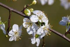 Tarninowy Prunus spinosa okwitnięcie w wiośnie Obraz Royalty Free