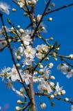 Tarninowy Prunus spinosa okwitnięcie w wiośnie Obrazy Royalty Free