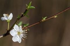 Tarninowy Prunus spinosa okwitnięcie w wiośnie Zdjęcia Royalty Free