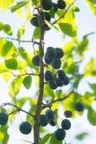 Tarninowy Sloe Spinosa na gałąź lub Prunus obrazy royalty free