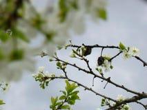 Tarninowy wiosny okwitnięcie Fotografia Royalty Free
