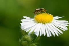 Tarnished Plant Bug - Lygus lineolaris. Tarnished Plant Bug collecting nectar from a Philadelphia Fleabane flower. Todmorden Mills Park, Toronto, Ontario, Canada Stock Photos