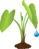 taro φυτών ελεύθερη απεικόνιση δικαιώματος