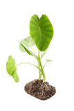 Taro. Two taro plants with white background stock image