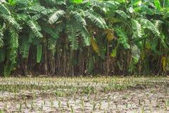 Taro and banana plantations Royalty Free Stock Photography