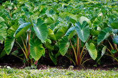 Taro crops Royalty Free Stock Photography
