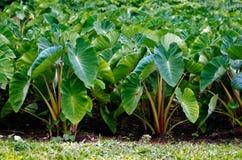 Taro crops