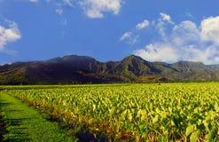 taro dell'Hawai Kauai del campo Fotografie Stock Libere da Diritti