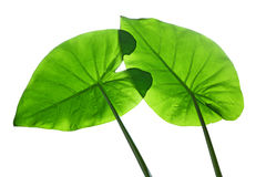 Taro Elephant Ears Leaves Stock Photography