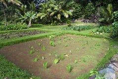 Taro- eller Kalo loidamm, Oahu Hawaii Arkivfoton