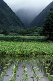 Taro farm between 2 mountains Stock Photography