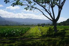Taro Farm Kauai royalty free stock photos