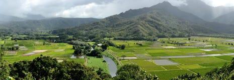 Taro Farms Fotografie Stock Libere da Diritti