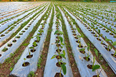 Taro field. Royalty Free Stock Photos
