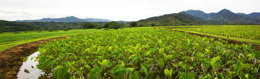 Taro field in Hanalei royalty free stock photography