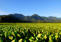 Taro field in Kauai Hawaii Royalty Free Stock Photo