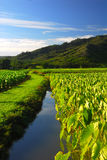 Taro field Kauai Hawaii Royalty Free Stock Photo
