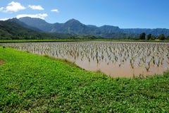Taro field in Kauai Hawaii, USA Stock Image