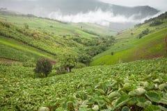 Taro field on mountain. The Taro field on mountain Stock Photos