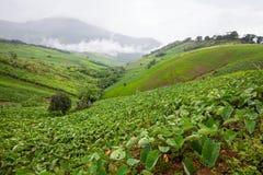 Taro field in mountains,Phechaboon Thailand.  Stock Photos