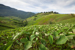 Taro field in mountains,Phechaboon Thailand.  stock images