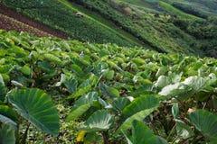 Taro field in mountains,Phechaboon Thailand.  Royalty Free Stock Photos
