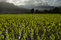 Taro fields. Royalty Free Stock Photos