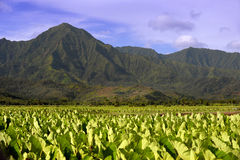 Taro Fields Stock Image