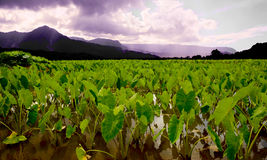 Taro Fields Royalty Free Stock Photography