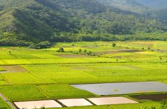 Taro fields Royalty Free Stock Photos