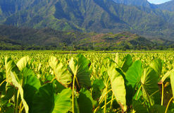 Taro fields. Taro growing in the Hanalei Valley, Kauai, Hawaii Royalty Free Stock Image
