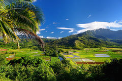Taro fields in beautiful Hanalei Valley Royalty Free Stock Photography