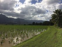 Taro Fields in Hanalei Valley on Kauai Island, Hawaii. Stock Photo