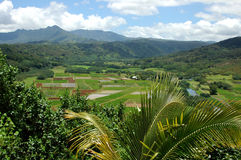 Taro Fields Of Kauai Stock Photo